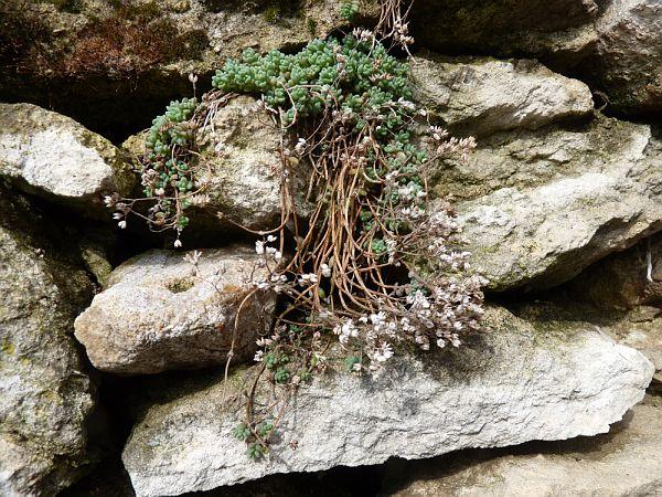 Plante et pierre sèche - orpin blanc